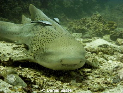 Leopard (Zebra) Shark by Daniel Sasse 